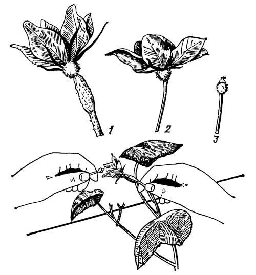 Ручное опыление цветков: