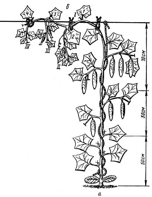 Агротехника длинноплодных сортов и гибридов огурцов в зимней грунтовой теплице.