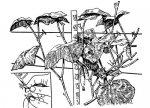 Агротехника огурцов типа Марфинский
