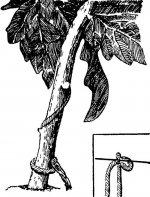 Агротехника помидоров в пристенной теплице