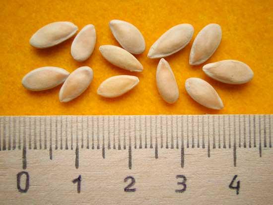 При выращивании семян огурцов надо помнить, что разные сорта могут опылить друг друга.  Поэтому, если вы хотите...