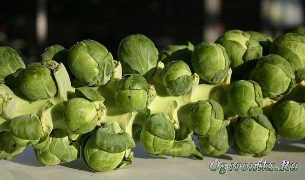 шуточное название брюссельской капусты