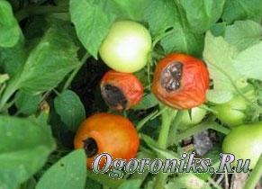 борьба с вредителями помидоров: