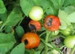 Наиболее распространенные болезни помидоров и меры борьбы с ними